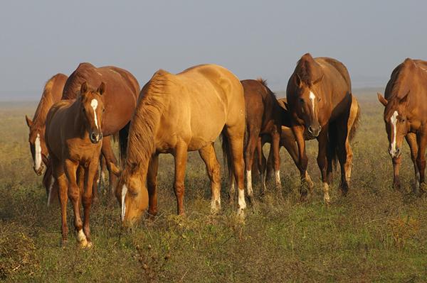 Табун рыжих лошадей