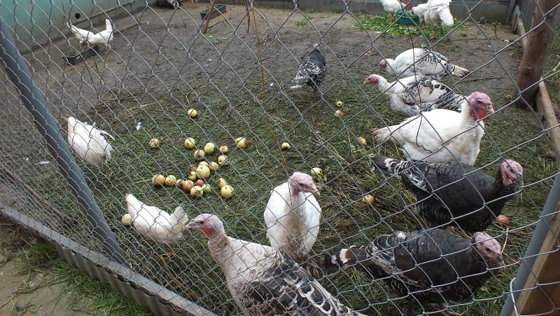Птицы гуляют в загоне