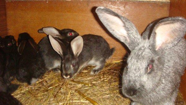 Подросшие крольчата с матерью