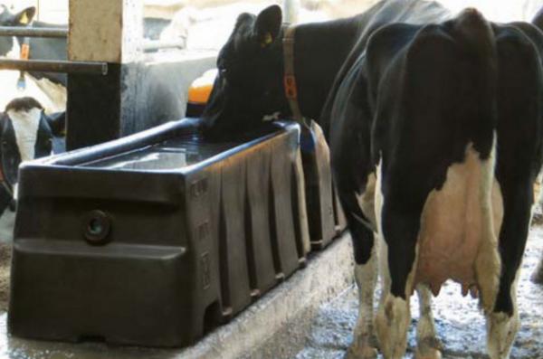 Корова пьёт из поилки