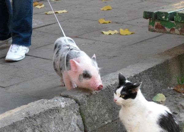 Свинья на выгуле