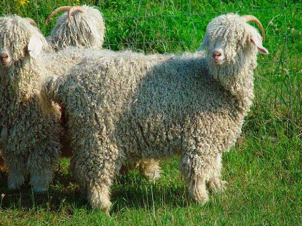 Ангорская порода коз