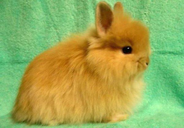 Карликовый кролик - лисья порода