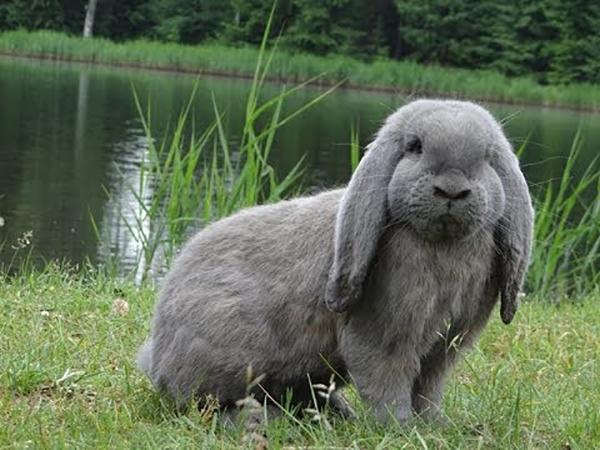 Серый кролик у озера