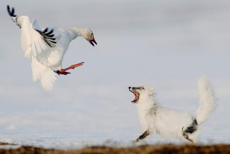 Белый гусь защищается от хищника
