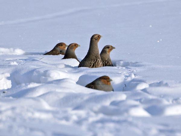 Серые куропатки в снежных сугробах