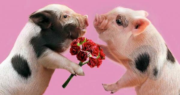 Две карликовые свиньи с цветами