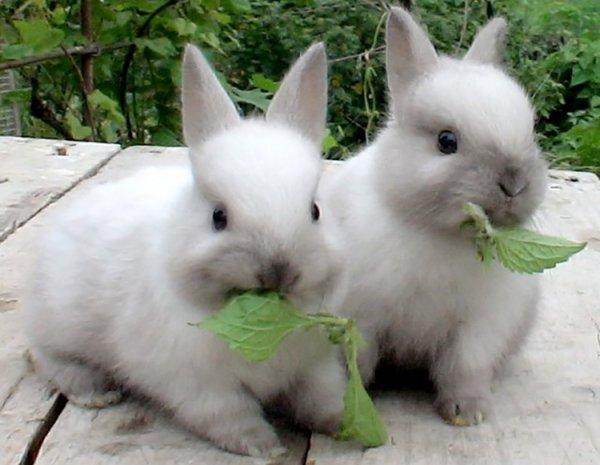 Кролики, жующие свежую зелень