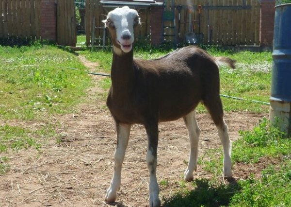 Ламанча - порода без ушей