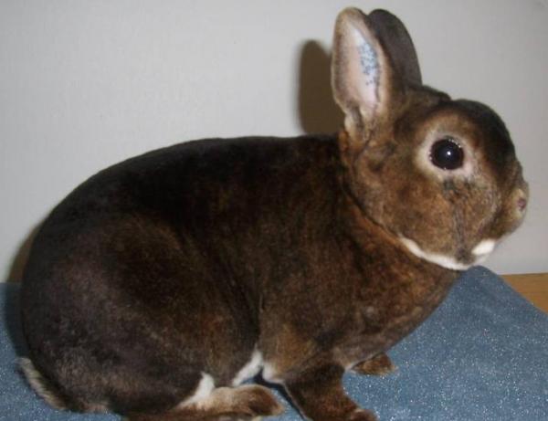 Карликовый кролик - Рекс