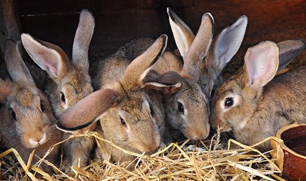 Несколько кроликов едят сено