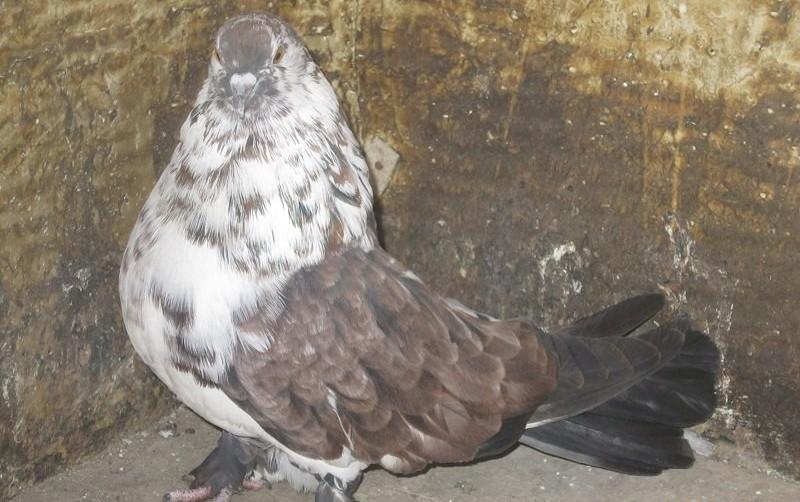 Мелитопольский дутый голубь