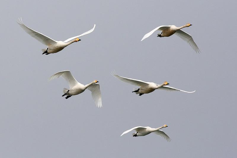 Летящие лебеди в небе