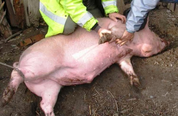 Свинья перед убоем