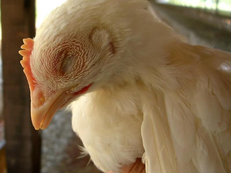 Уставшая курица