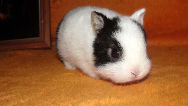 Черно-белый крольчонок