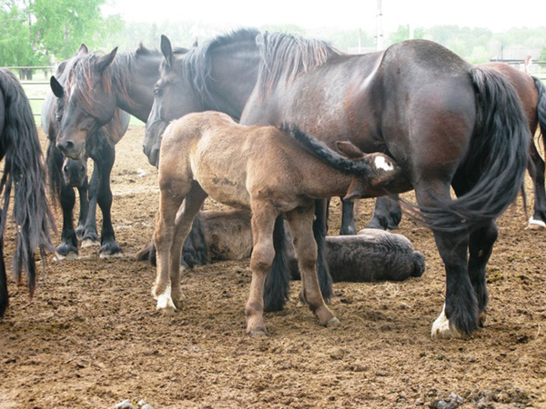 Табун першеронских лошадей