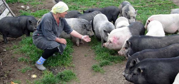 Разведение вьетнамских свиней в домашних условиях