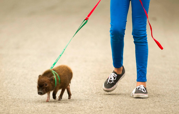 Карликовая свинья на улице с хозяйкой