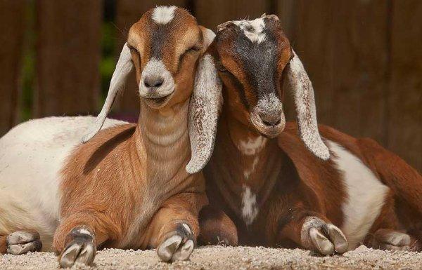Две нубийские козы