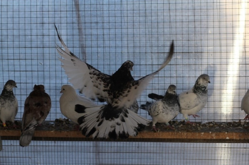 Радужные голуби Донецка