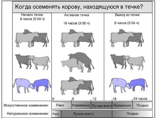 Расписание племенной вязки телок и быков