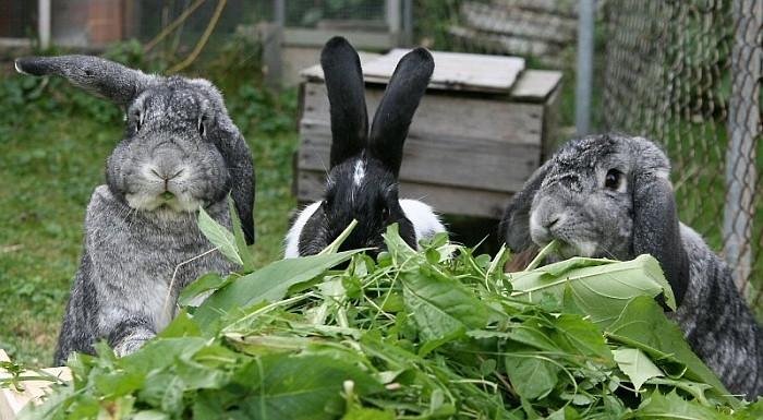 Три кролика едят щавель
