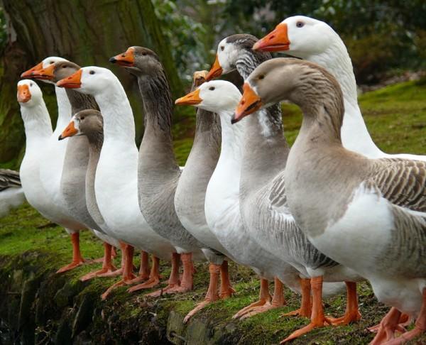 Поголовье гусей