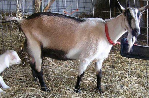 Альпийская коза с козлёнком
