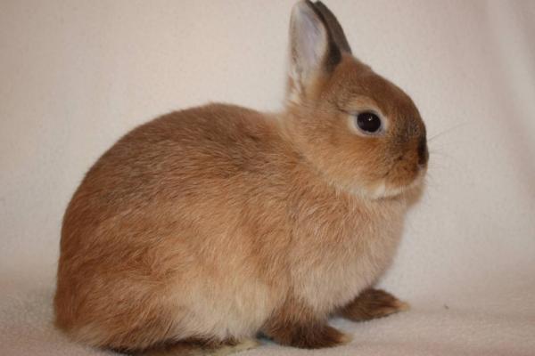 Карликовый цветной кролик