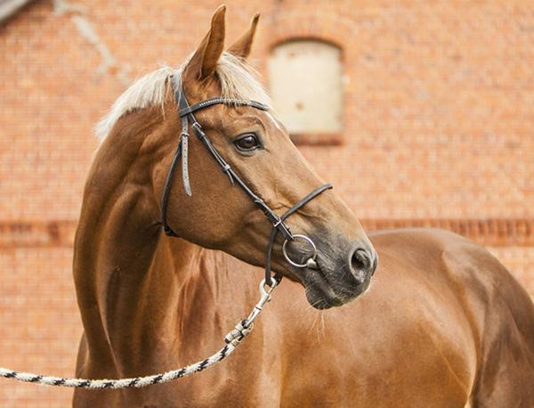 Тракененская лошадь на фоне дома