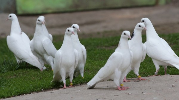 Стайка голубей Такла гуляют по земле