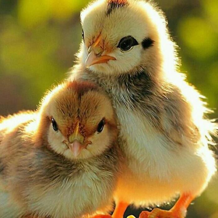Два цыпленка сидят рядом