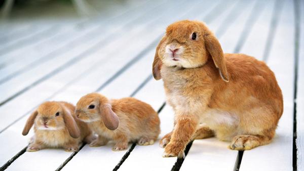 Несколько кроликов на деревянном фоне