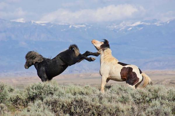Сражение лошадей за лидерство
