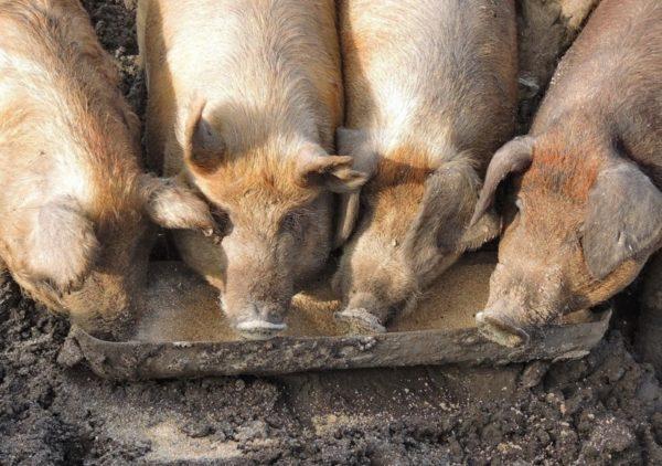 Свиньи едят корм с добавками