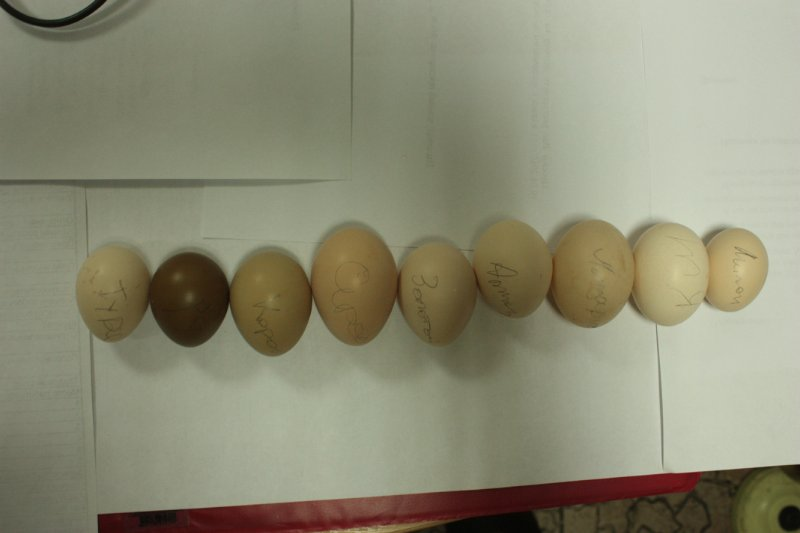 Яйца разных пород фазанов