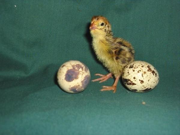 Птенчик перепела и яйца