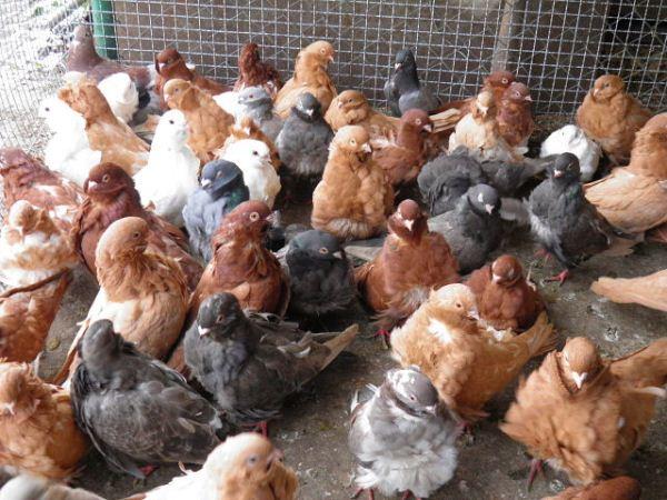 Китайские голуби-чайки