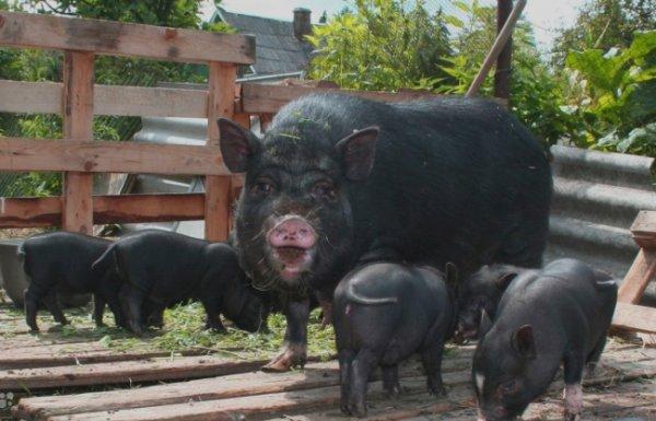 Вьетнамские свиньи в загоне