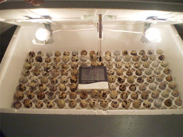Самодельный инкубатор для перепелиных яиц