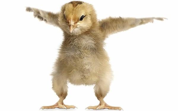 Восьмидневный цыпленок араукана пытается летать