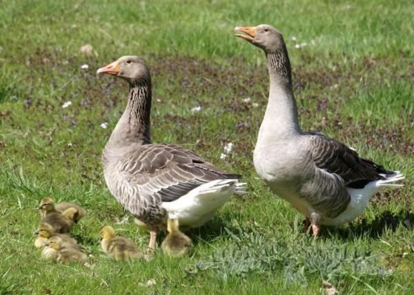 Пара Ландских гусей
