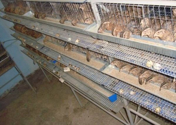Перепелиная ферма с поголовьем более 500 перепелок