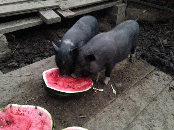 Свиньи едят арбуз