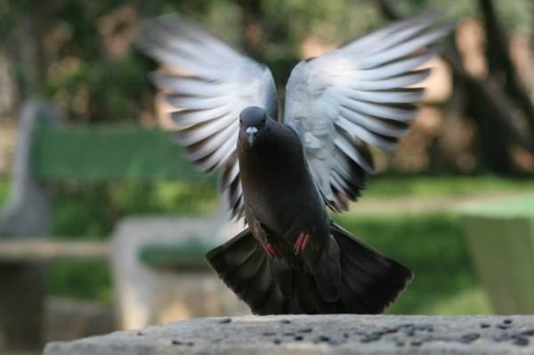Черный японский голубь