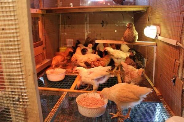 Подросшие цыплята в вальере