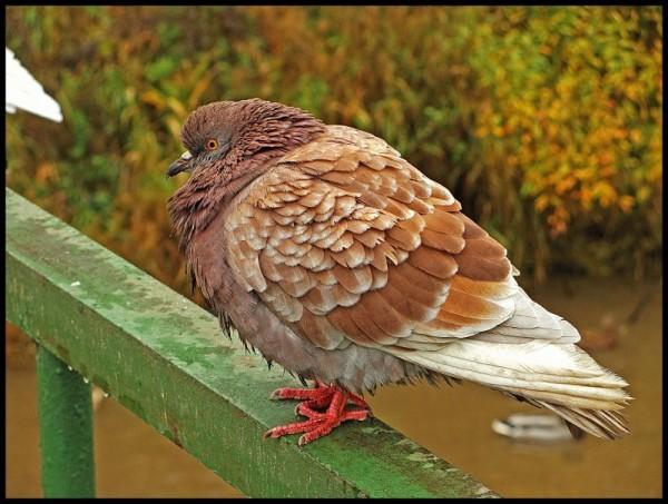 Подвид рыжего голубя