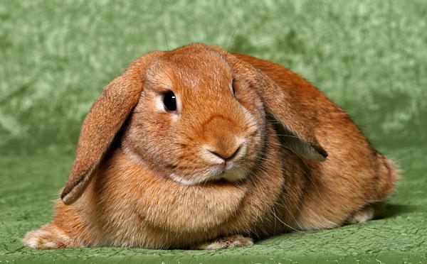 Рыжий кролик в траве