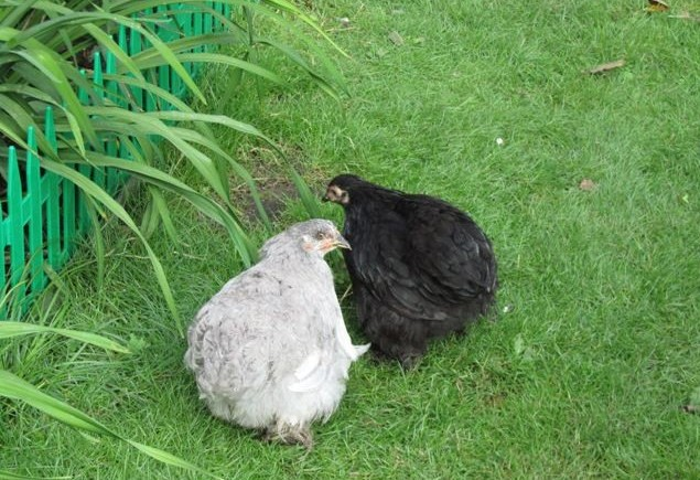 Серая и черная курицы Кохинхин
